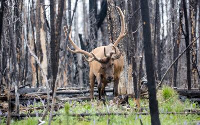 Wildfires & Wildlife