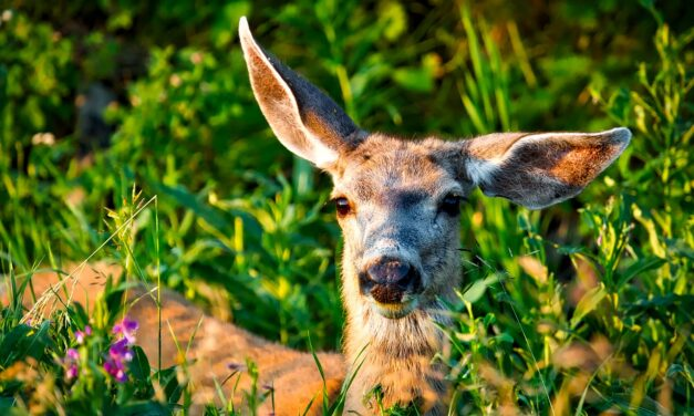 The Faces of Wildlife Podcast, Episode 1: Mule Deer – Urban Pest or Species at Risk?