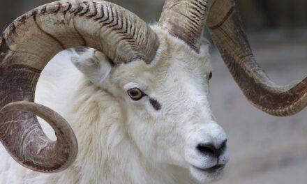 How a Devastating Wildfire Actually Helped the Wild Sheep Population – The Faces of Wildlife Podcast, Episode 2