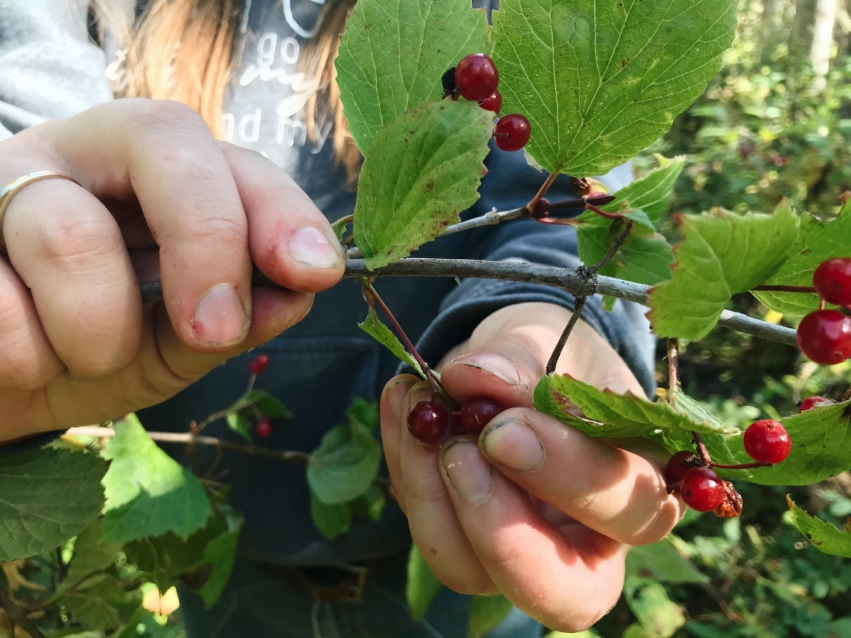 a person holding a branch of highbush cranberries